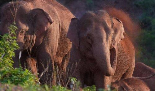 Fil sürüsünün 500 kilometrelik esrarengiz yolculuğu bilim insanlarını şaşırtıyor