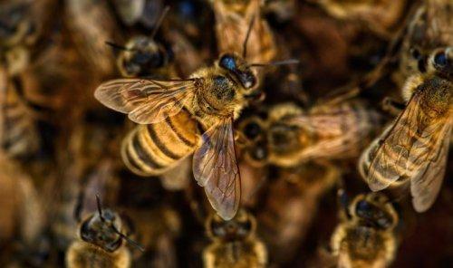 Bağışıklığın en büyük destekçisi: Arı ekmeği nedir?