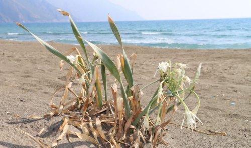 Kum zambakları koruma altına alındı: Cezası 80 bin TL