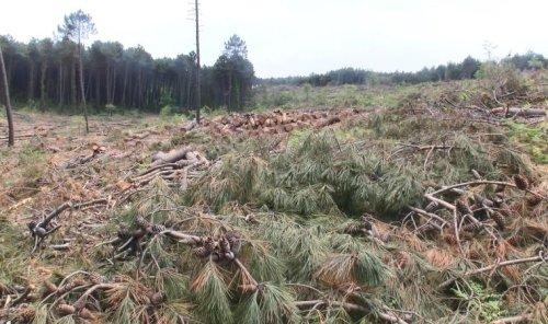 İstanbul'un akciğeri Belgrad Ormanı'nda 'tıraşlama': Çok sayıda ağaç 'yaşlı' olduğu için kesildi