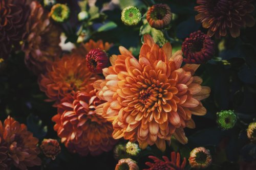 D'où vient le symbole du chrysanthème ? - Curieux!