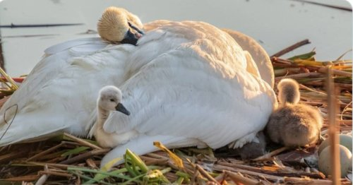 Grieving Papa Swan Parents His Babies Alone In Heartbreaking Viral Photo