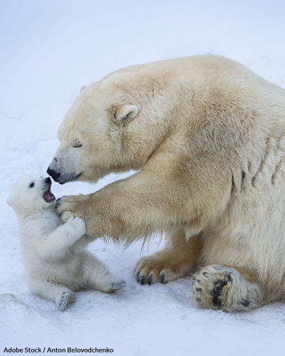 New Research Shows Polar Bears Could Go Extinct By 2100