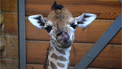 Oklahoma City Zoo's newborn baby giraffe explores outdoor habitat for first time