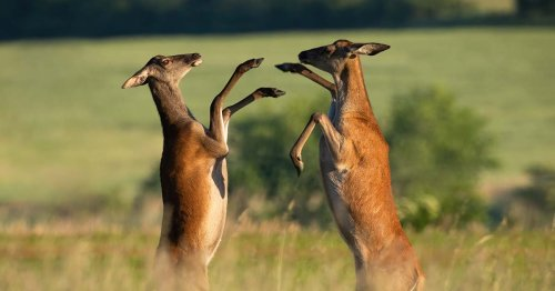 Mating Contests Among Females, Long Ignored, May Shape Evolution   Quanta Magazine