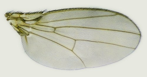 Mathematical Analysis of Fruit Fly Wings Hints at Evolution's Limits | Quanta Magazine