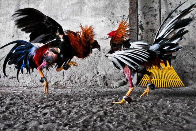 Hướng dẫn cách cá cược và chiến thuật chơi game đá gà online - cover
