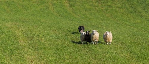 Dog Ejected During Crash Found Days Later Herding A Group Of Sheep