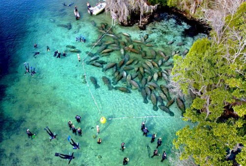 Trump refused manatees endangered species protection; hundreds now dead; Red tide looming.