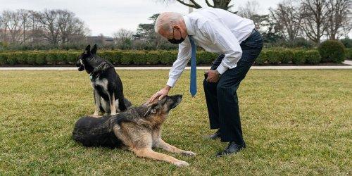 Biden's Dog Champ has Gone to the Rainbow Bridge