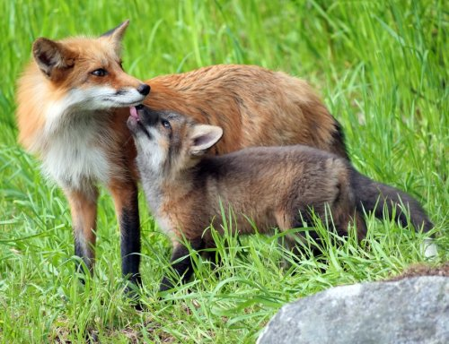 Photo gallery: San Juan Island springtime for momma foxes and their baby kits