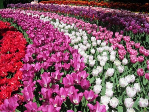 Saturday Morning Garden Blogging Vol. 17.16: Keukenhof Gardens, The Netherlands