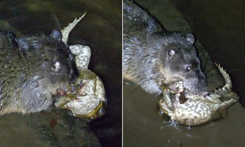 Watch the moment a rat EATS a toxic cane toad without being poisoned