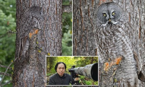 Amateur photographer spots Great Grey Owl as it blends into tree bark