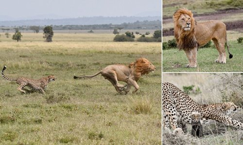 Cheetah chases off 330lb lion after it tried to eat her cubs in Kenya