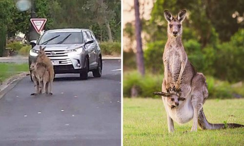 Kangaroos caught getting intimate in the middle of a Melbourne road