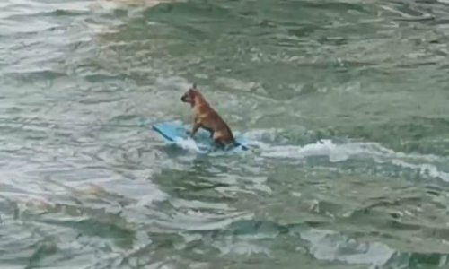 Tiny dog is spotted wakeboarding behind a boat in Mexico