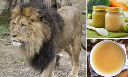 National Zoo feeds Covid-infected lions broth after they refuse meat