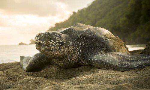 Giant turtles so common in UK they 'should be classed as British'