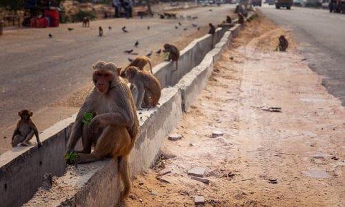 Monkey kills man with a BRICK in India