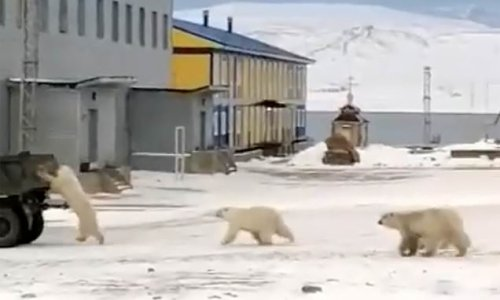 Polar bear clings to truck filled with thrown-out food in Russia