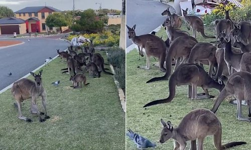 Kangaroos, pigeons and ibis swarm woman's yard in Western Australia