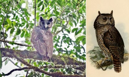 Giant owl not seen in 150 YEARS is spotted in a rainforest in Ghana