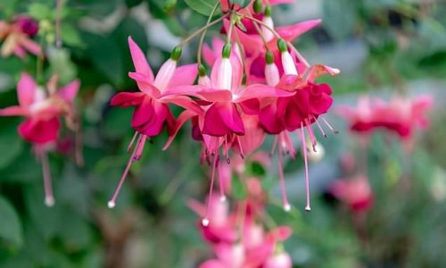 Future of Britain's fuchsias is not so rosy