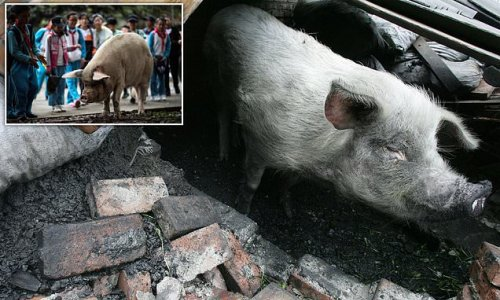 China mourns death of PIG who became a hero after surviving earthquake