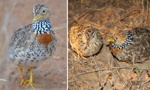 'Goldilocks' bird gifted 13,000 hectares of habitat to survive