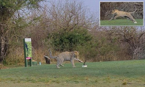 VIDEO: Leopard filmed on a South African golf course