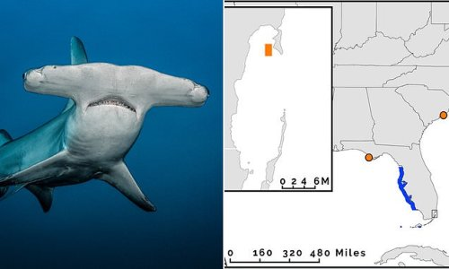 Baby hammerhead found near Florida could be first nursery in Atlantic