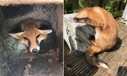Fox cub spends five hours stuck in a concrete block