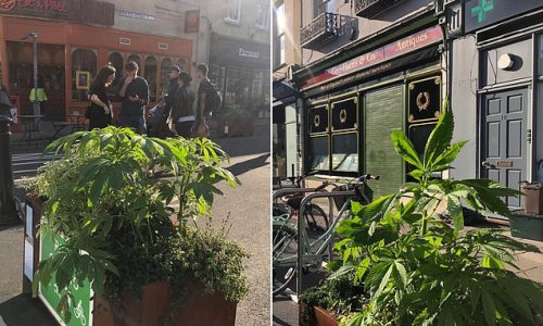 Huge 'cannabis plant' is spotted growing outside Bristol fish bar