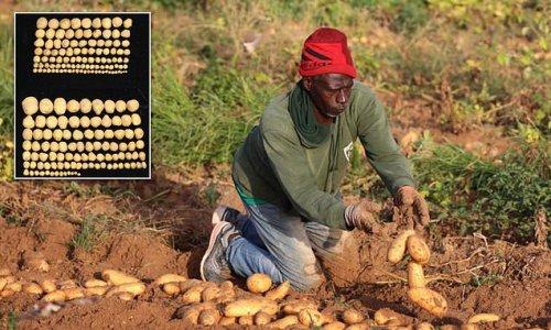 Inserting animal gene made potato and rice crops 50 percent bigger
