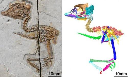 Tiny extinct bird from China had a skull similar to a T.REX