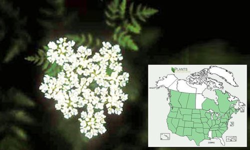 Invasive toxic hemlock that can be deadly has spread across the US