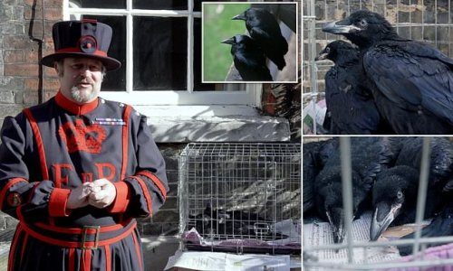 Tower of London celebrates arrival of two raven chicks