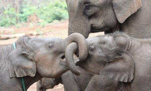 Having female siblings may help elephants live longer, study finds