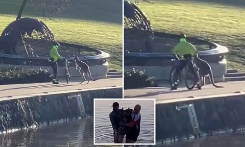 Kangaroo caught attacking a cyclist after being rescued earlier