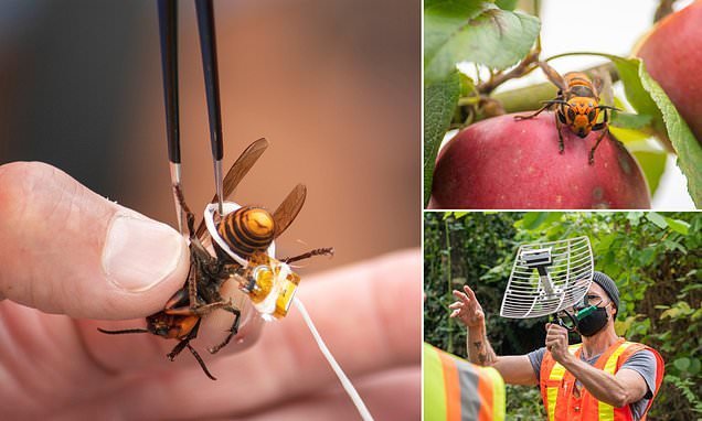 'Murder hornet' with tracking device attached by dental floss escapes