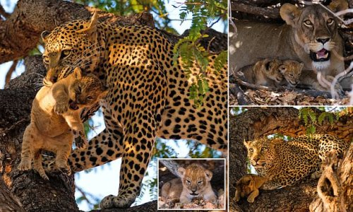 Leopard snatches lion cub and EATS it in Ruaha National Park, Tanzania