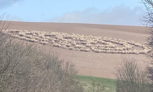 Mystery as hundreds of sheep stand in circle in field