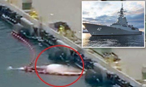 Dead whales found underneath Royal Australian Navy ship HMAS Sydney