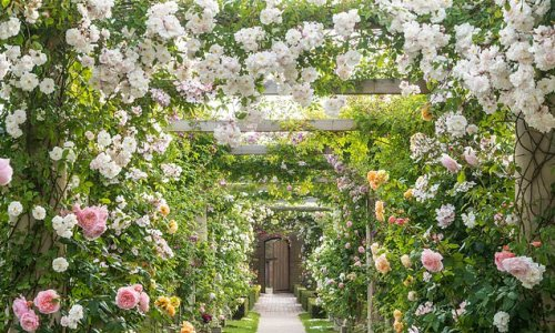 The best places to see roses at their majestic best in Britain