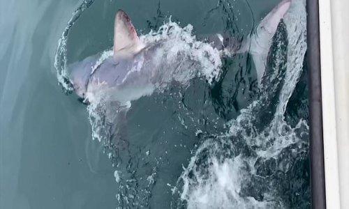 Seven fishermen struggle to reel in a 550lb shark off Devon coast