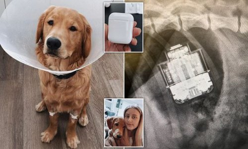 Puppy swallows a pair of AirPods which still work after being removed
