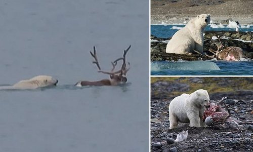 Polar bear hunts and feasts on reindeer in first-ever footage