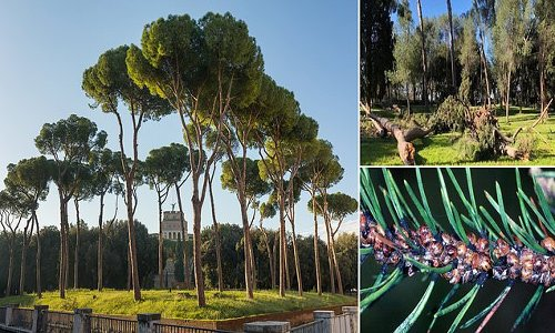 Rome fighting to save its umbrella pines after deadly parasite
