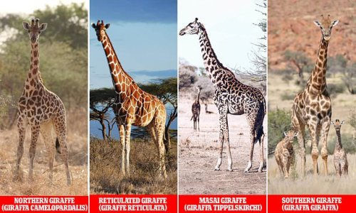 FOUR distinct species of giraffe, not one, identified by scientists